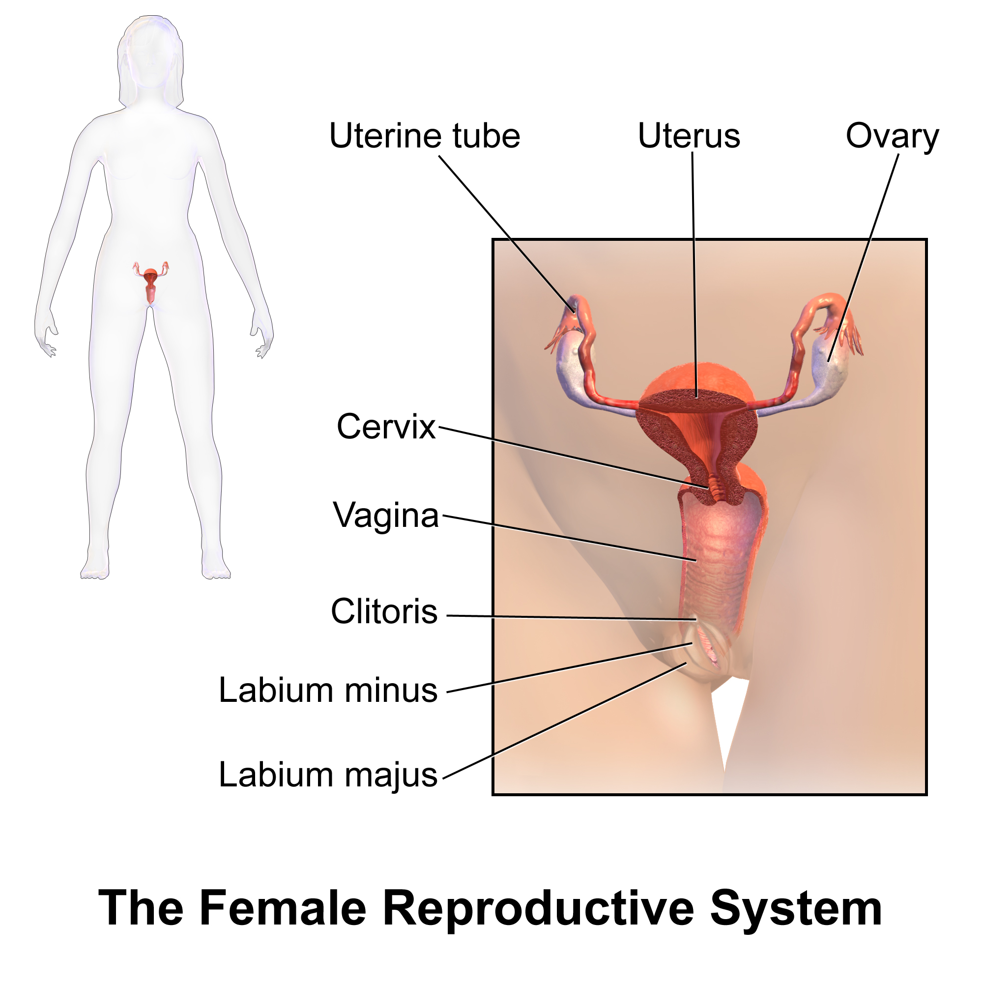 reproductive sexual system