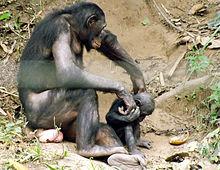 bonobos sexual monkey