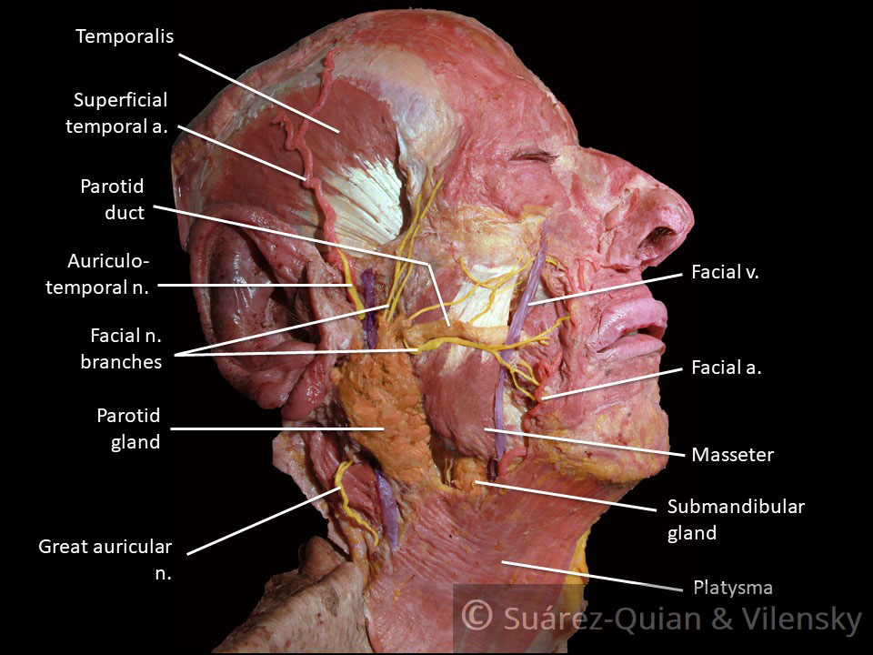 at facial nerve